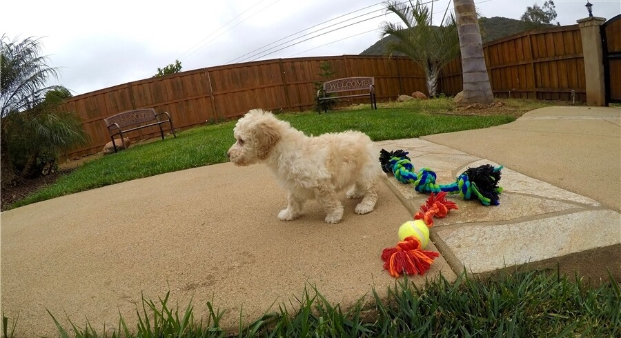 Goldendoodle Meet Ozzy A Puppy For Adoption