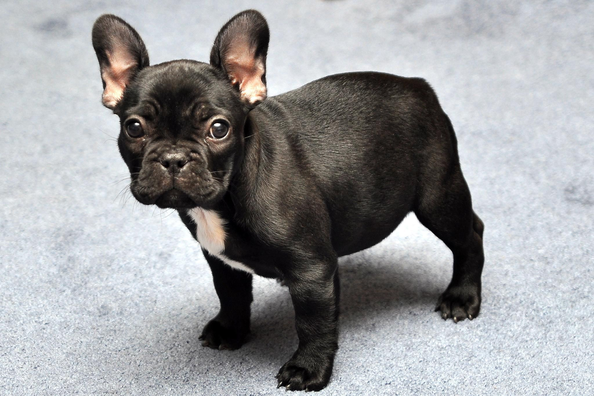 french bulldog information  dog breeds at newpetowners - pictures
