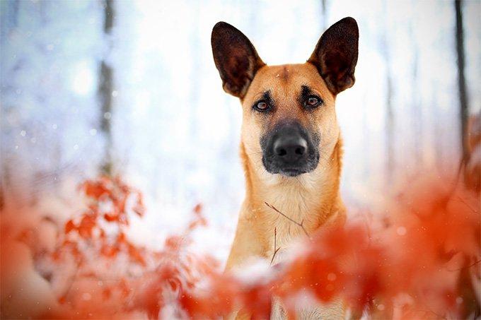 Belgian Malinois Information Dog Breeds At Newpetowners