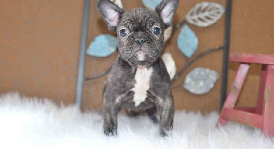french bulldog rescue dallas french bulldog meet dallas a puppy for adoption 2489