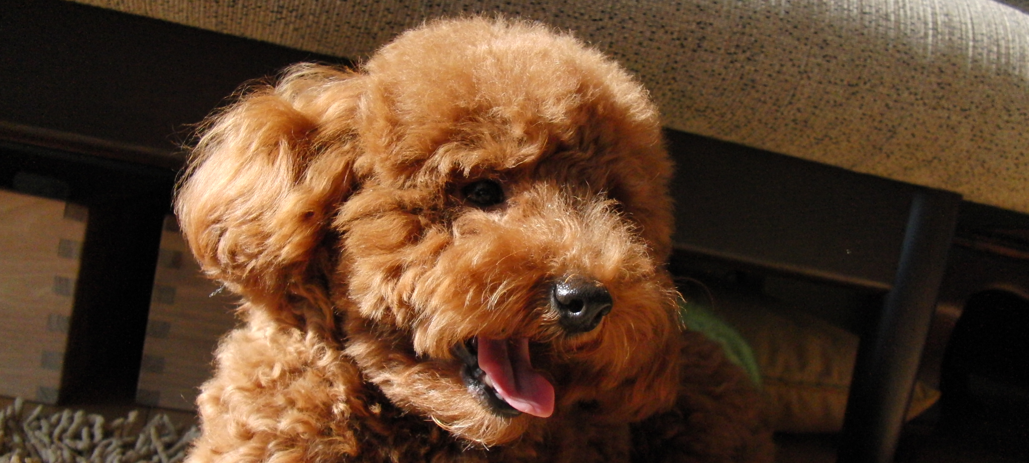 Toy Poodle Information Dog Breeds At Newpetowners